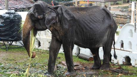 This photo taken on August 13, 2019 shows 70-year-old  elephant Tikiri eating at the Temple of the Tooth in Kandy, Sri Lanka.