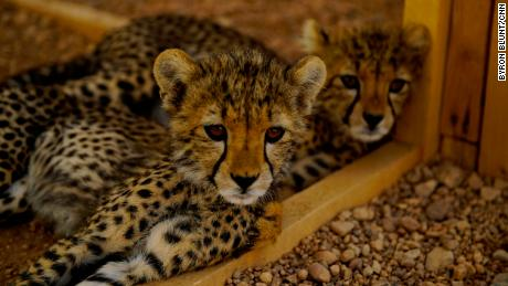 two of the 32 rescued cheetahs currently in the CCF safe in Hargeisa. feed on fresh camel meat twice a day, sprinkling