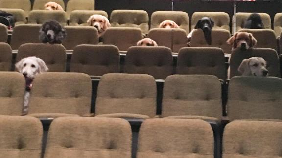 """A group of service dogs attend a performance of """"Billy Elliot: The Musical"""" as part of their training."""