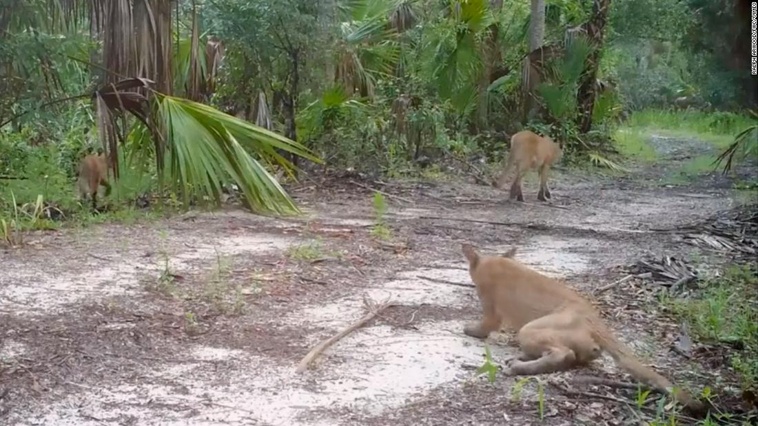 Florida officials are investigating why panthers are seen stumbling and falling down