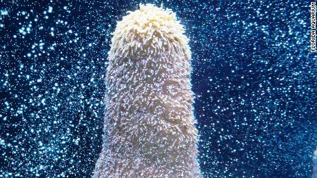 Pillar coral at the Flordia Aquarium Greenhouse in Tampa, Florida.
