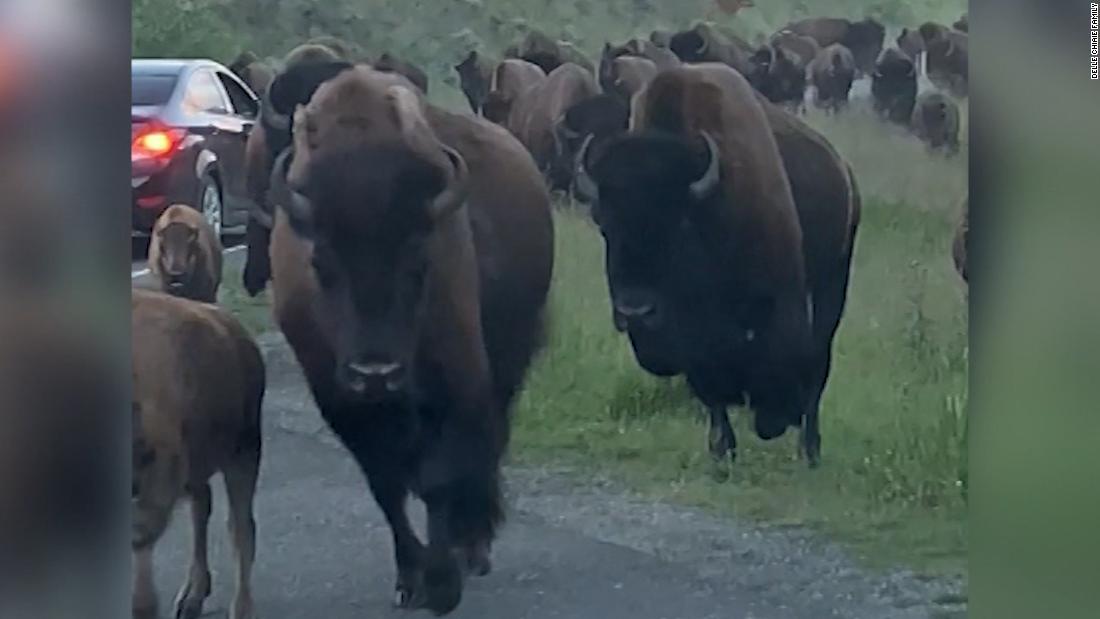Bison stampede straight into tourist's rental car