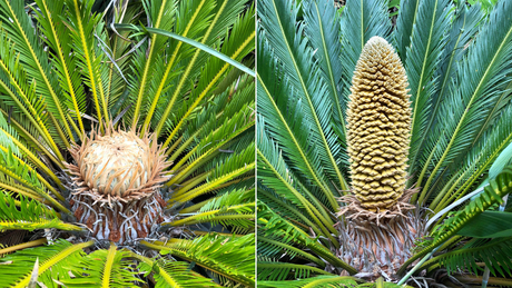 Two cycads have produced cones at the Ventnor Botanic Garden on the Isle of Wight -- the first time that such a thing has happened in millions of years, experts say. (Photo credit: Phil Lemay/Ventnor Botanic Garden)