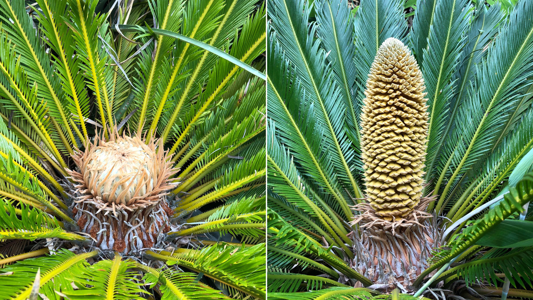 Ancient tropical plants produce cones in UK for first time on record