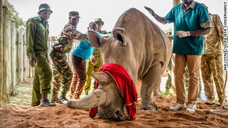 Fatu is surrounded by her keepers and Dr. Stephen Ngulu of Ol Pejeta before the procedure.