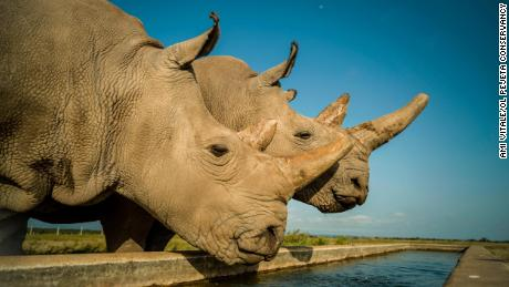 Najin (left) and Fatu are the last two northern white rhinos on the planet.