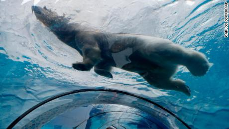 A polar bear swims over an observation tunnel at the Detroit Zoo.