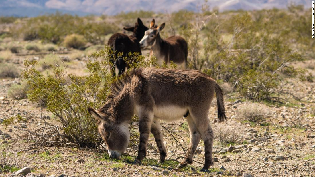 The Mojave Desert's donkeys are turning up dead with bullet wounds. Officials are offering $18,000 to find who's responsible