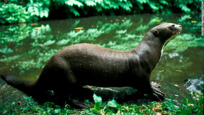 The world's largest otter -- which inhabits the the Amazon -- is also one of the world's most endangered.