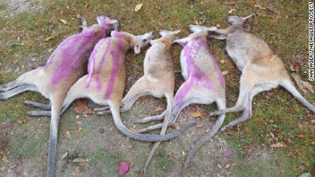 45 dead agile wallabies have been found in north Queensland, Australia. The pink marks are spray paint indicating which wallabies have been checked for baby joeys.