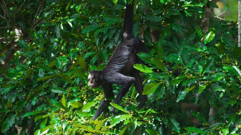 The white-cheeked spider monkey is already endangered, and the fires are  putting the species under greater pressure.
