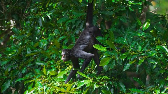 BCWWG6 White Whiskered or White Cheeked Spider Monkey Ateles marginatus Brazil