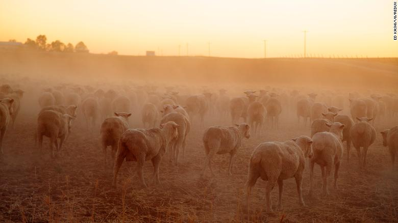 """Sheep graze in the dry, dusty fields of Farmersville, California. """"This image was made in 2014 while working on a short film about the ongoing drought in California,"""" photographer <a href=""""https://edkashi.com/"""" target=""""_blank"""">Ed Kashi </a>said. """"Tens of thousands of acres of arable land was turning to dust, massive orchards were being ripped out due to a lack of irrigation water, and farmers and ranchers who for generations had worked this land were wondering if their way of life was sustainable."""" Intense droughts like the one that plagued California this decade are <a href=""""https://advances.sciencemag.org/content/1/1/e1400082"""" target=""""_blank"""">becoming more likely due to global warming.</a>"""