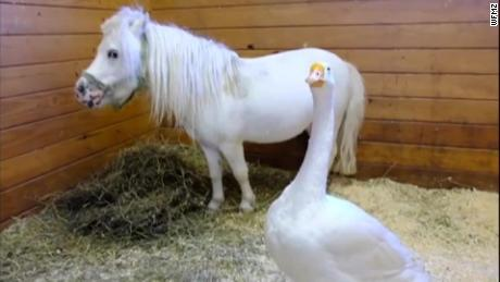 Odd couple finds forever home: Miniature horse and farm goose adopted together