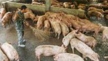 China could free up emergency pig reserves after losing 100 million pigs from the swine fever