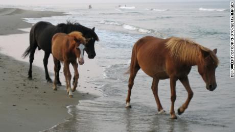 The wild horses of the Outer Banks have a special trick to survive hurricanes