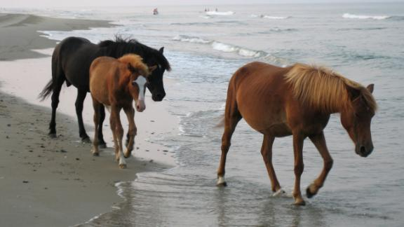 Wild horses walking on the beach of the Outer Banks in North Carolina.