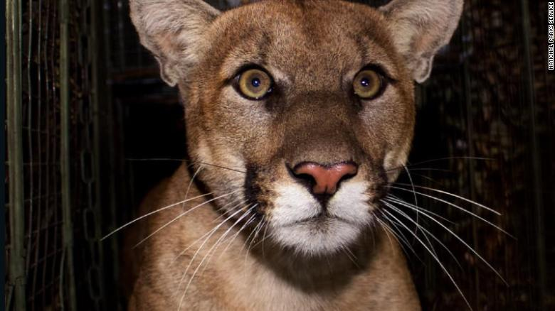 The mountain lion, known as P-61 to researchers, was struck and killed on the 405 freeway.