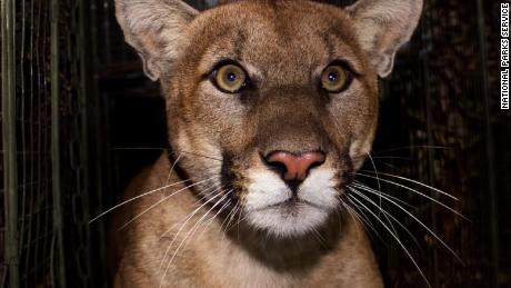 Mountain lion known for crossing 405 killed on the same Los