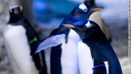 London aquarium to raise 'genderless' penguin
