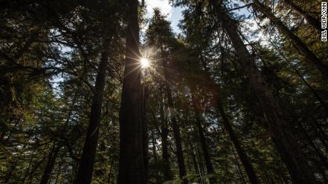 Towering trees in the Tongass National Forest may be 500 or 600 years old.