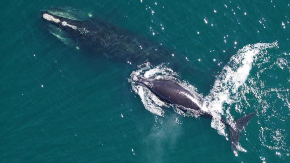 North Atlantic right whale mom and calf as seen from the APH-22 hexacopter. The pattern of callosities, which help identify each whale, is clearly visible on the mother