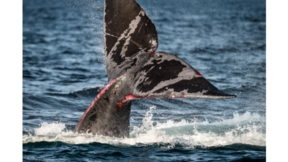 North Atlantic right whales like this one struggle to free themselves from fishing gear. Entanglement is one of their leading causes of death.