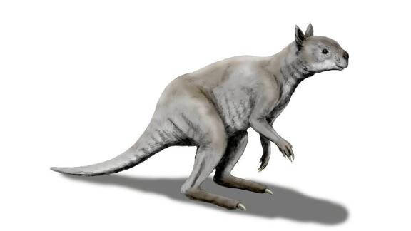 "An artist's illustration shows how different an ancient ""short-faced"" kangaroo called Simosthenurus occidentalis looked, as opposed to modern kangaroos. Its skull more closely resembles a koala."