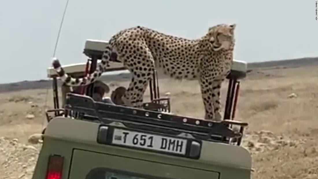 Cheetah jumps on vehicle during safari