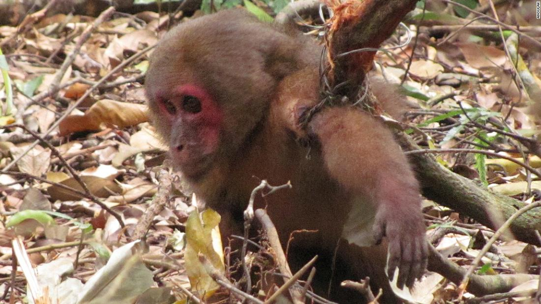 """""""Barbaric"""" homemade snares are wiping out Southeast Asia's wildlife"""