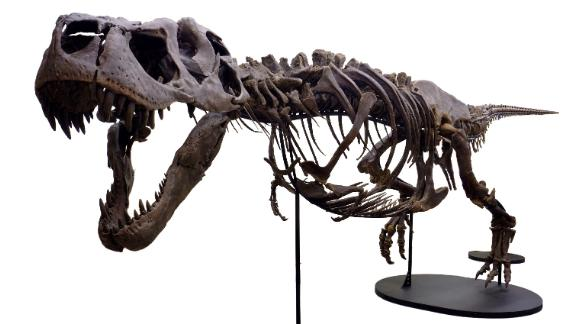 After her discovery in 2013, Victoria's 66-million-year-old, fossilized skeleton was restored bone by bone. She's the second most complete T. rex fossil on record.