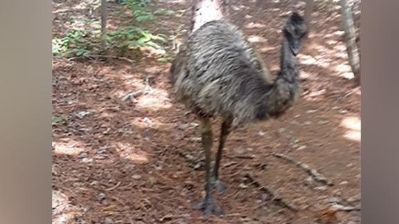 An emu that evaded Orange County authorities for months died Thursday during an attempt to capture and relocate it to a wildlife sanctuary.