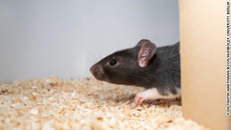 Fancy a game of hide and squeak? Rats love to play, scientists find