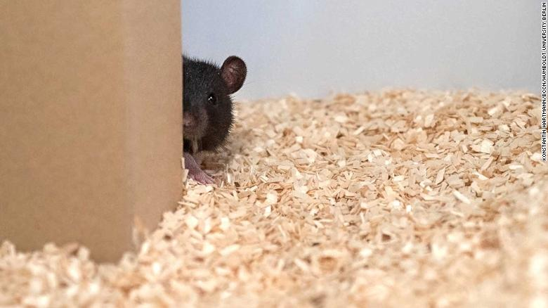 After being discovered, the rats would 're-hide,' even if it stopped them receiving their reward.