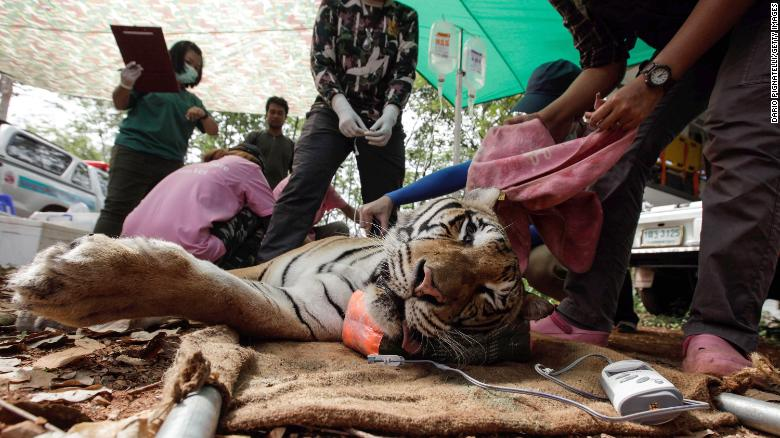 Thai veterinarian officers tend to a sedated tiger at the Wat Pha Luang Ta Bua Tiger Temple on June 1, 2016 in Kanchanaburi province, Thailand.