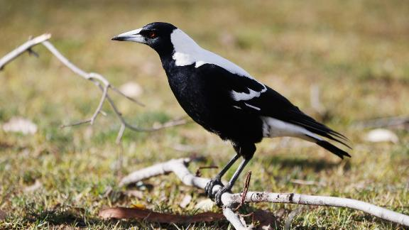 Australia sees an increase in magpie swoopings every September and October, shortly after the magpie breeding season.