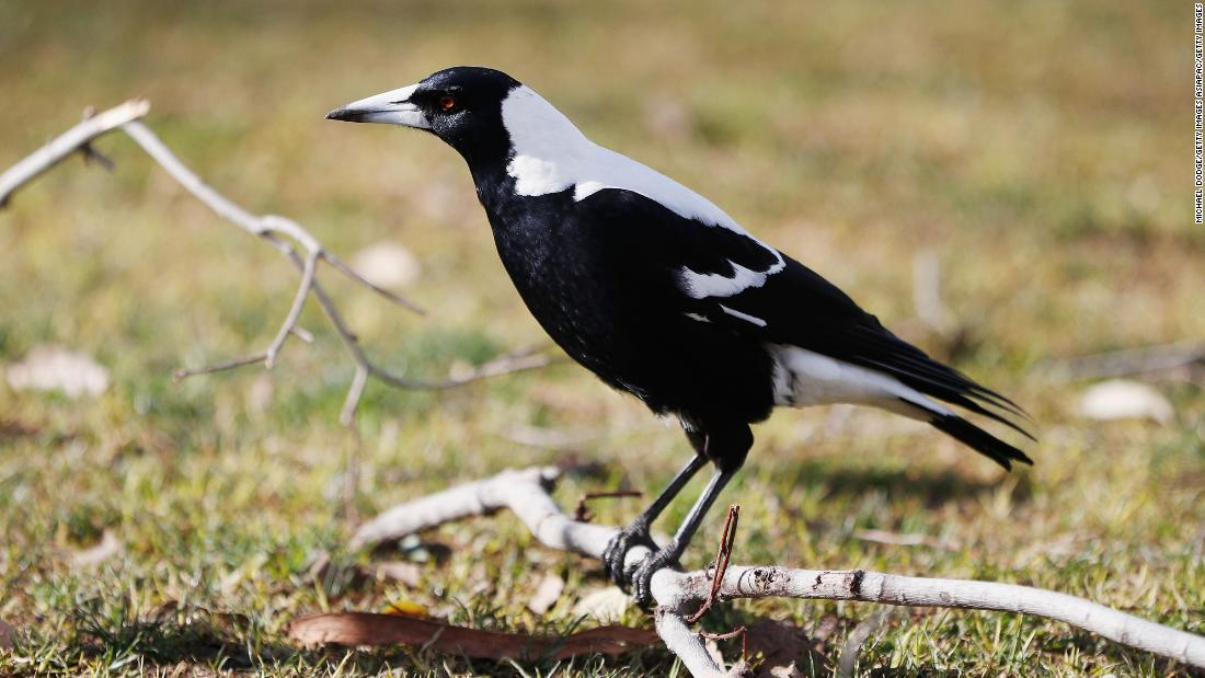 Australian man dies after attack by a swooping magpie