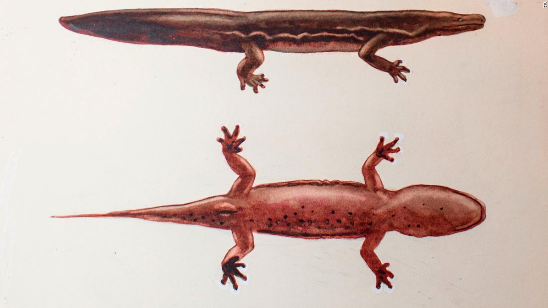 A painting shows the new species of giant salamander called Andrias sligoi, the largest amphibian in the world.