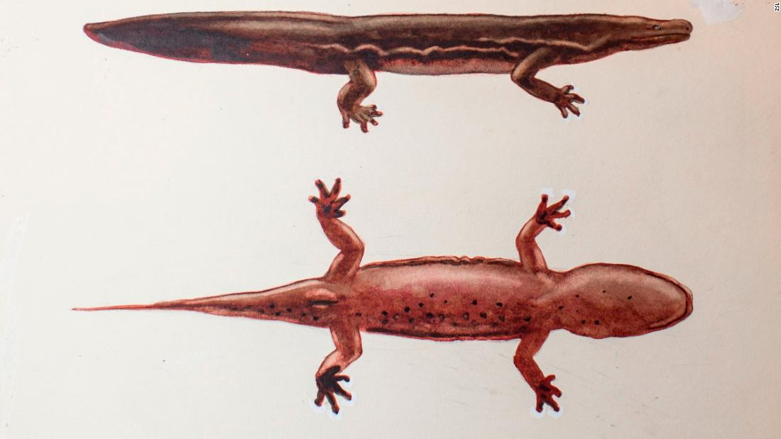Die weltweit größte Amphibien ist dieser neu entdeckte Riesen-salamander
