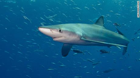 Blue sharks, like this one pictured near the Azores islands, are listed as 'Near Threatened' on the International Union for Conservation of Nature red list.