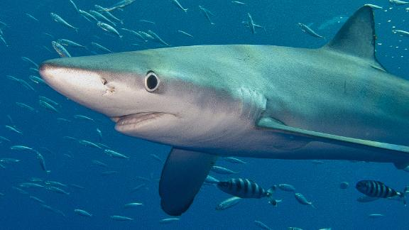 A blue shark in the Atlantic ocean near Pico in the Azores Islands. Blue sharks can migrate on a daily basis, diving more than a thousand feet during the day but returning to the surface at night.