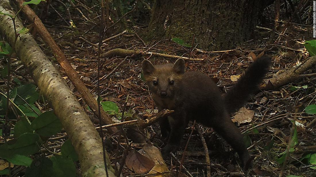 Wildlife officials ban the trapping of this cute, weasely creature in a bid to revive its population