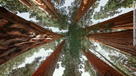 An upward view of giant sequoias in Sequoia National Park, California.