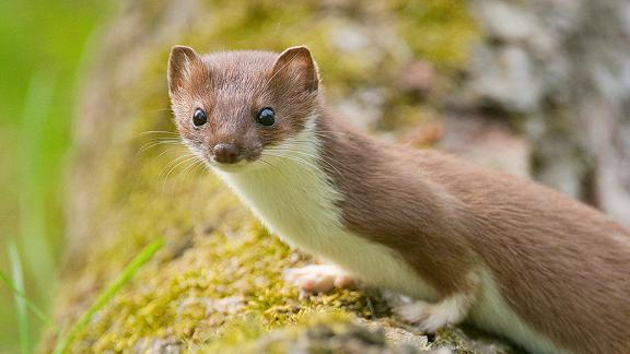 Related to weasels, polecats and ferrets, the stoat is a small but ferocious predator. Stoats have no qualms about attacking larger animals, including rabbits and chickens. European settlers took stoats to New Zealand for pest control purposes, where they wreaked havoc on native bird populations. The New Zealand Government spends millions of dollars each year protecting native birds from stoats, which feast on their chicks and eggs.