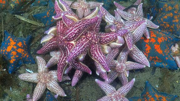Growing up to half a meter in width, the Northern Pacific Seastar (also known as the Japanese Starfish) has spread from the North Pacific to the south coast of Australia. A single female can carry up to 20 million eggs. It
