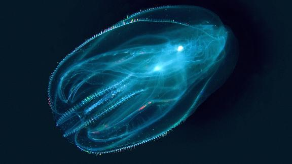 The humble comb jelly has no brain, stomach or bones. It eats microscopic sea organisms, as well as fish eggs and larvae. Native to the Atlantic coasts of North and South America, warty comb jellies reached the Black Sea, Aegean Sea and Caspian Sea during the 1980s. The jellies traveled across oceans in the ballast water of ships. In these new waters, they flourish thanks to a lack of natural predators. It is associated with crashes in fish numbers. Dolphin populations, dependent on fish supplies, have plummeted in the Black and Azov Seas as a result of the jelly invasion, according to the World Wildlife Fund.