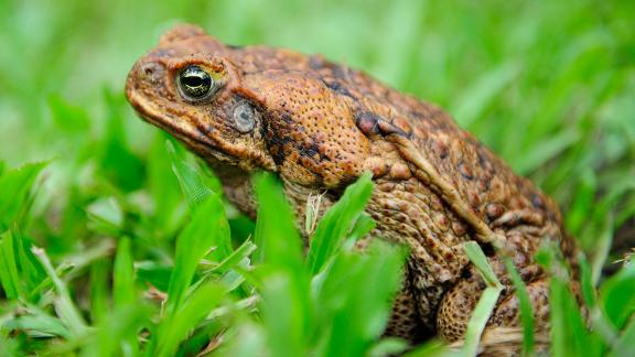 These creatures are indigenous to South America. They were deliberately introduced to many countries in the 1930s (including the USA and Australia) to help control sugar cane pests, like beetles. But cane toads proved to be disastrously voracious, eating anything from honeybees to dog food. An estimated 1.5 billion cane toads live in Australia alone. When attacked or eaten, they emit venom that can be fatal to wild animals and household pets alike. Studies in Bermuda show they are outcompeting native frogs.