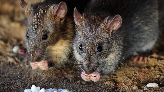 Also known as the ship rat, it is native to India but over thousands of years, it spread to every continent except Antarctica by hiding in ships. These furry stowaways can devastate wildlife populations  as they guzzle through native insects, bird eggs and chicks, and fruit.
