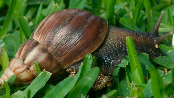 Its native range is coastal East Africa, but this snail has reached all continents except Antarctica. They are sold as food, pets, and for medicinal purposes, which led to their accidental introduction to the wild. In New Zealand, the Giant African land snail eats many types of local snails, as well as native plants.