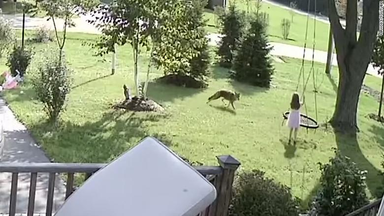 Resultado de imagen para A five-year-old barely escaped as a coyote chased her in her front yard